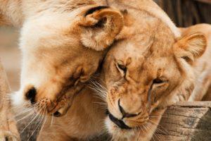 Die perfekte Beziehung bei Löwen
